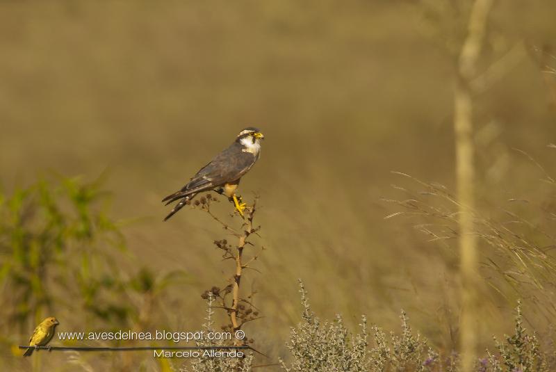 Halcón plomizo, Aplomado Falcon, Falco femoralis