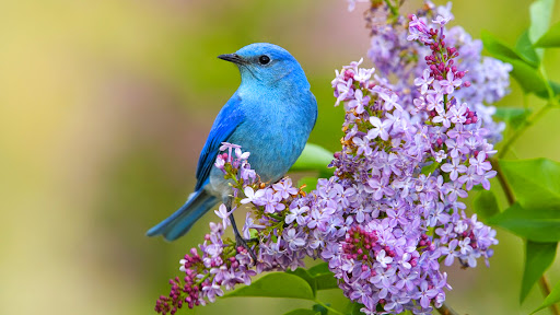 Mountain Bluebird and Lilac.jpg