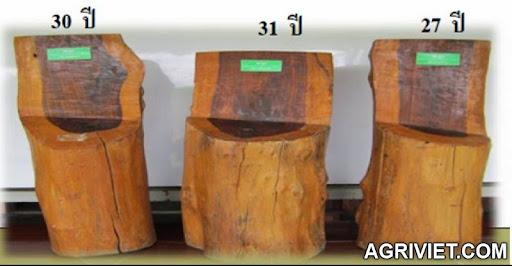 Agriviet.Com-Siamese-Rose-wood-2012.jpg