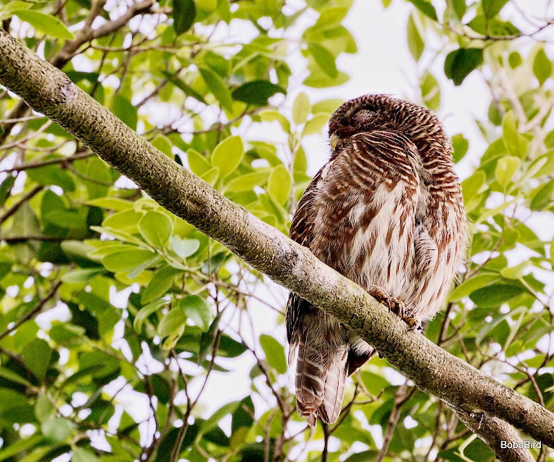 Asian Barred Owl