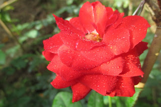 Hoa hồng lửa Sa Đéc
