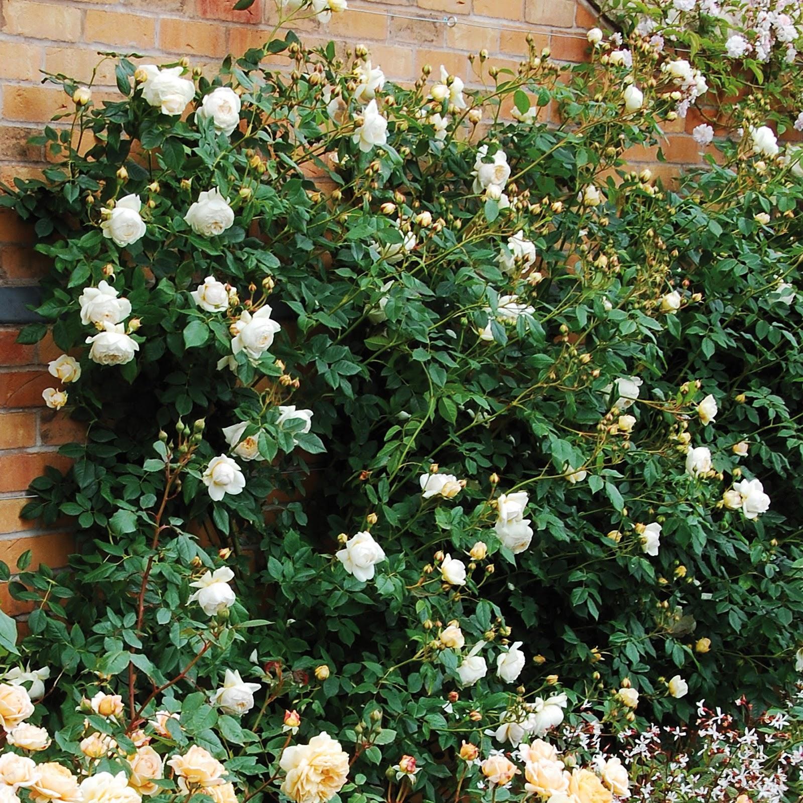 Hình ảnh hoa hồng leo Claire Austin rose trồng dọc theo vách tường với hàng trăm bông hoa trắng tinh khiết