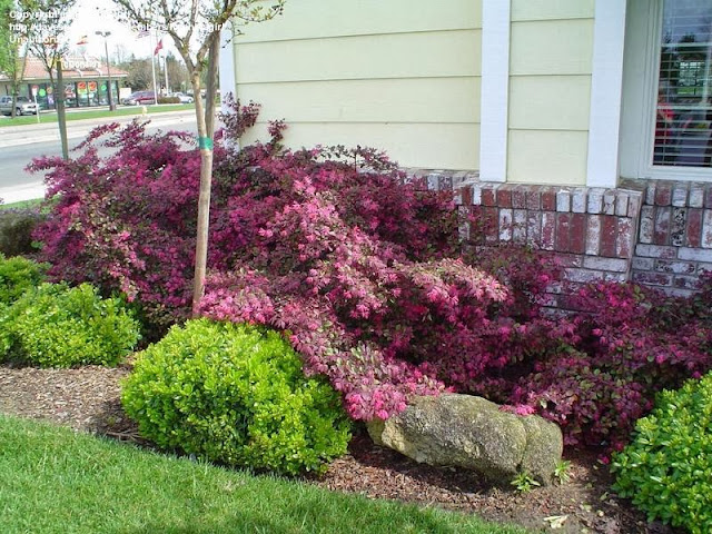 arbusti da fiore da vaso o fioriere sempreverdi per