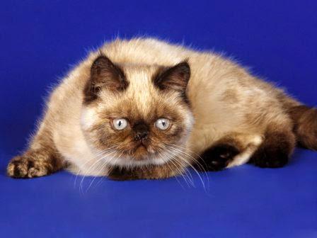 Jenis Jenis Kucing Yang Bagus Untuk Di Pelihara Sumber