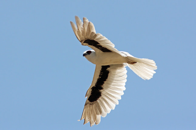 Letter-winged Kite (c) P Waanders