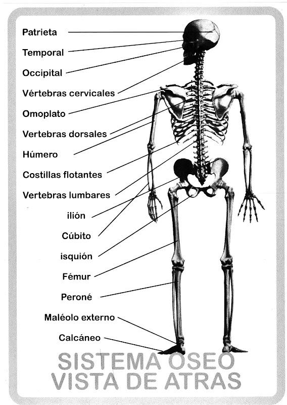 Pinto Dibujos: Sistema óseo vista de atrás para colorear