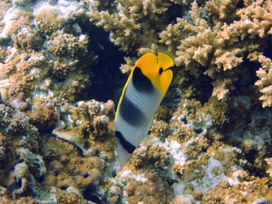 Chaetodon ulietensis (Double-saddle Butterflyfish), Aitutaki.