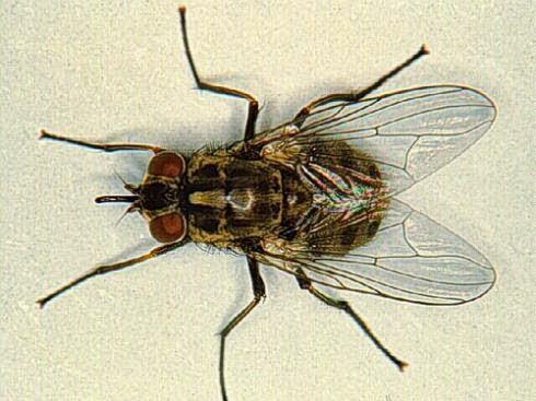 Đặc điểm của loài ruồi nhà