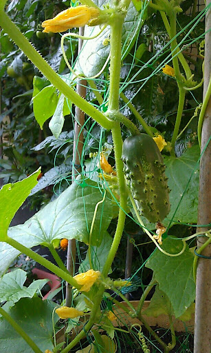 A pickling cucumber growing on the vine