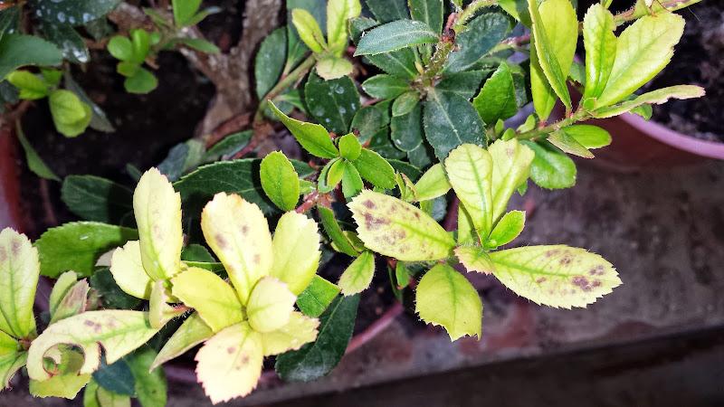Manchas oscuras en las hojas (Madroño) 2013-08-24%252018.28.47