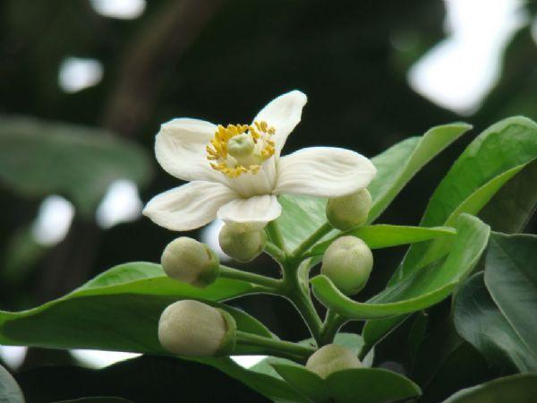 Thơ hoa bưởi mới nhất