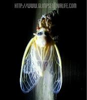new adult cicada