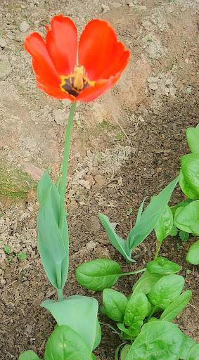 Tulipan rojo en San Antonio de los Altos, Miranda, Venezuela