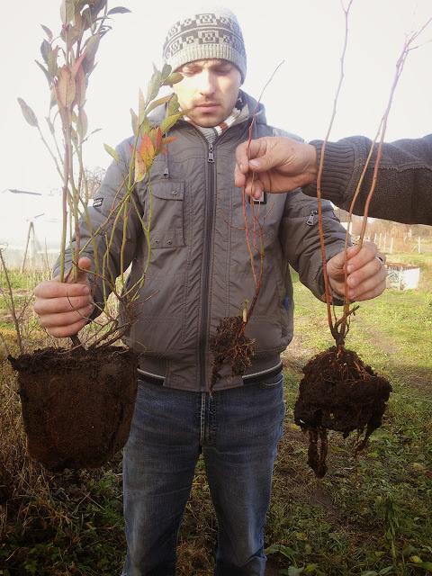 саженец голубики Украина
