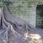 Fig tree beside sandstone wall (261233)