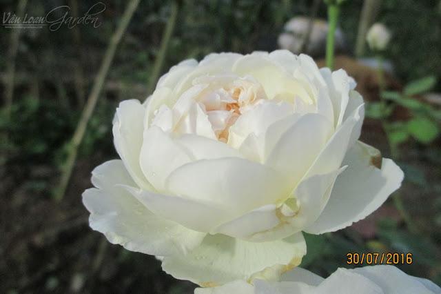 Hồng Glamis Castle có form hoa cup khi chưa nở hoàn toàn