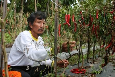 Petani cabei asal Ngawi lebih memilih panen dini akibat serangan penyakit