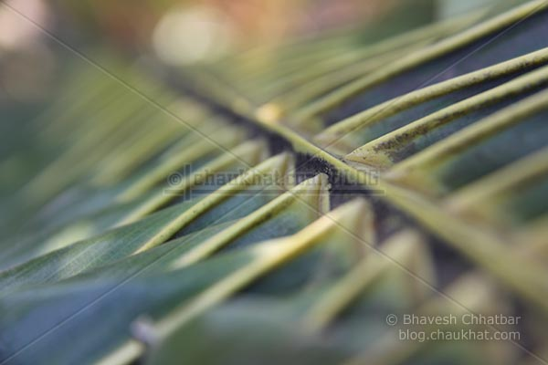 Zoomed view of a coconut tree leaf