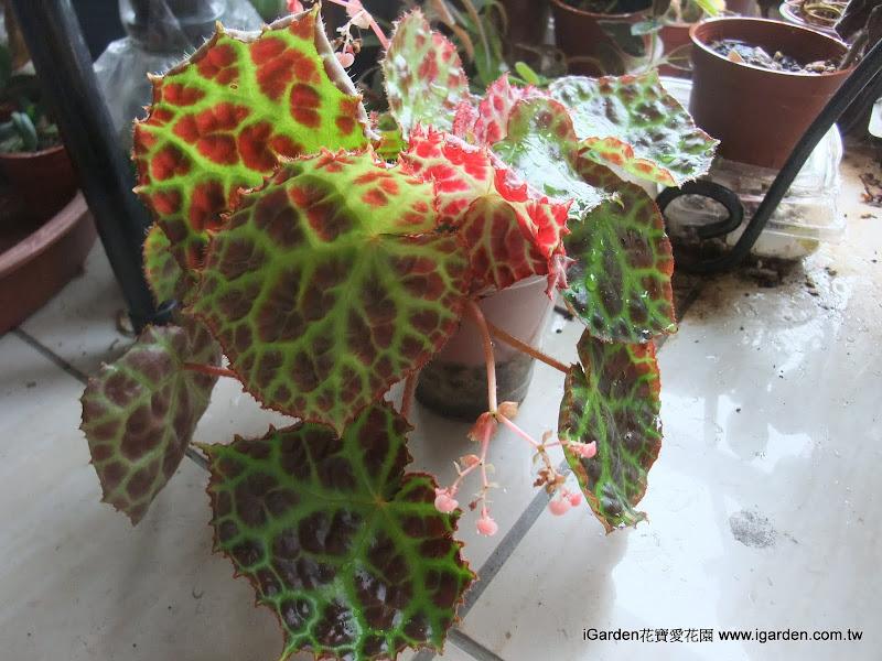 秋海棠裂葉插法示範 | iGarden花寶愛花園