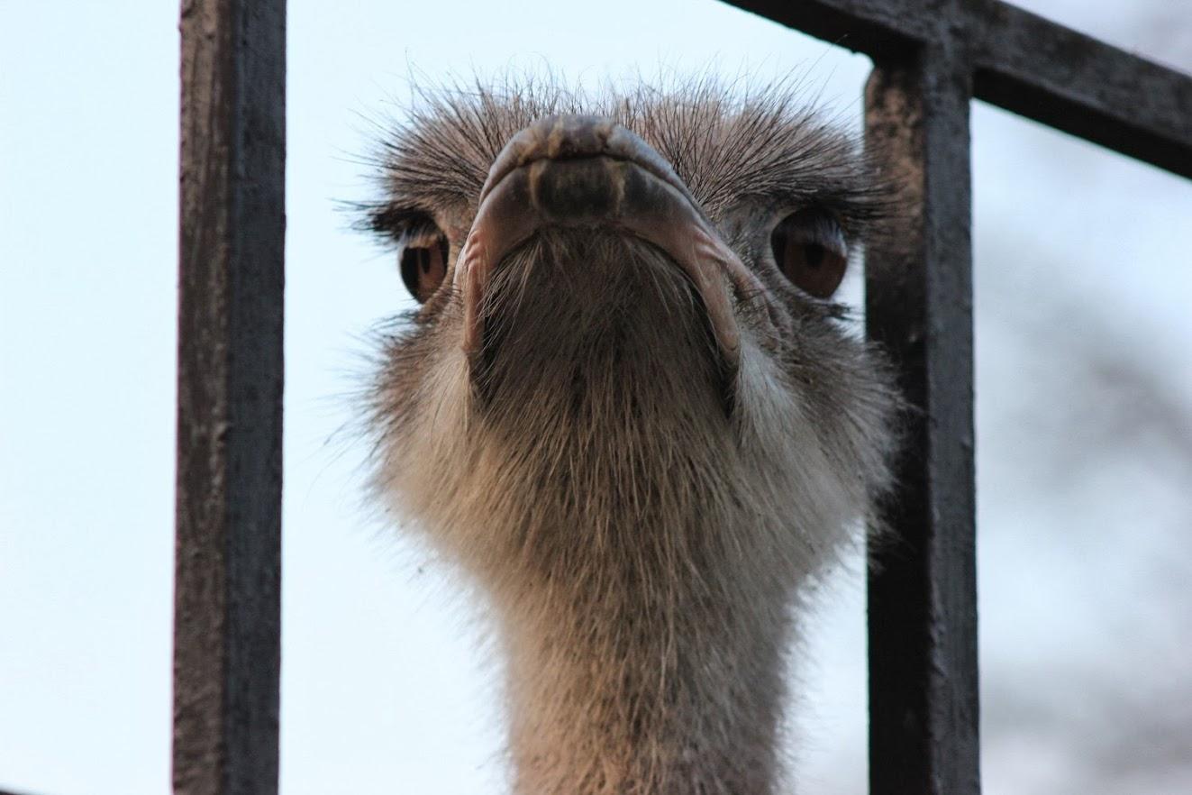 Страус, или африканский страус
