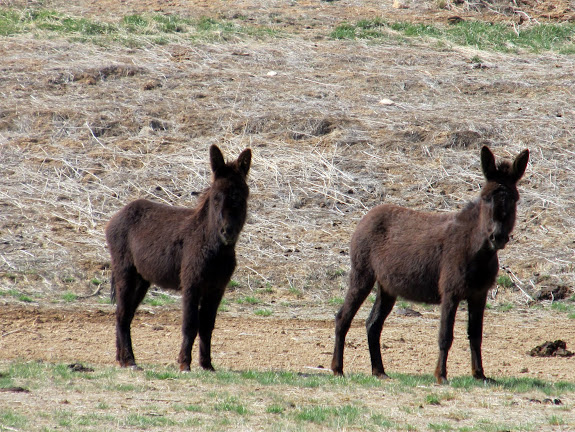 Wild donkeys in Red Draw