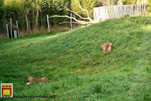 cheetahs vieren hun eerste verjaardag Zoo Parc Overloon (31) 11-11-2012.JPG