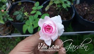 Số lượng cánh hoa cũng ít hẳn so với cây hồng trưởng thành