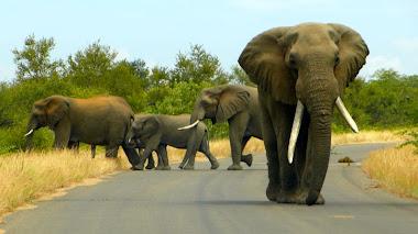 Elefantenbulle stellt sich schützend vor seine Herde