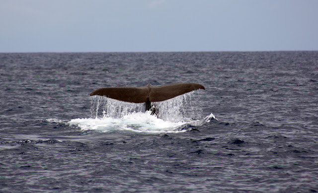 Esses magnificos Cetacios -  Cachalotes - Golfinhos etc IMG_3395a