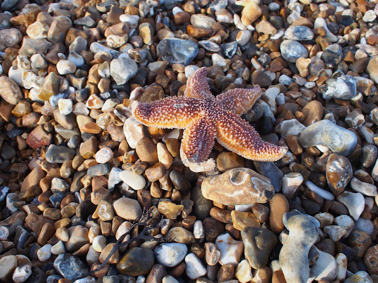 starfish shoreham