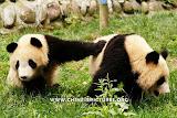 Chinese Panda Photo 6