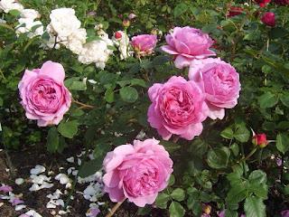 Hoa hồng ngoại Princess alexandra of kent rose có đường kính hoa lớn, hương thơm vừa phải ngọt ngào. Ảnh: sưu tầm