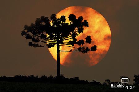 Árvores - Nossos baixos antes de tomar forma - Página 2 Arauc%25C3%25A1ria+by+haroldopalojr
