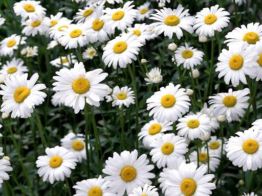 White_Camomile_flowers.jpg