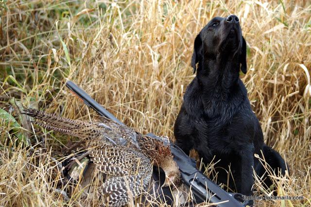 peltokanalintujahti fasaani labradorinnoutaja metsästys