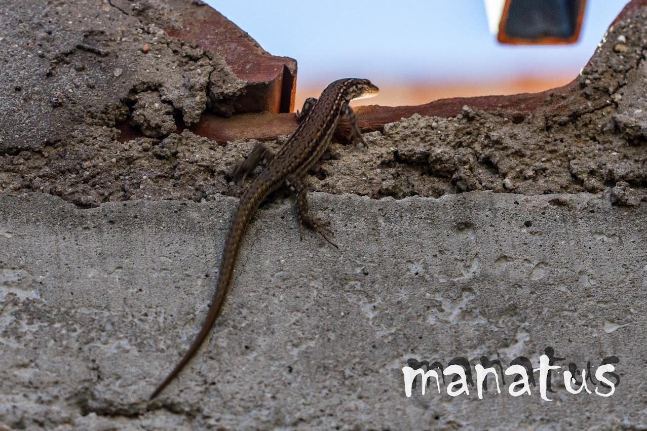 manatus foto blog lagartija