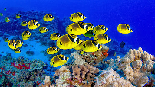 Schooling Raccoon Butterflyfish, Hawaii.jpg