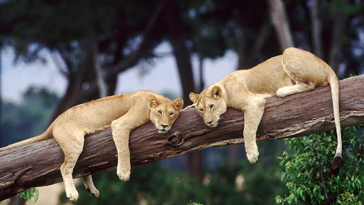 Lazy Lions, Kenya.jpg