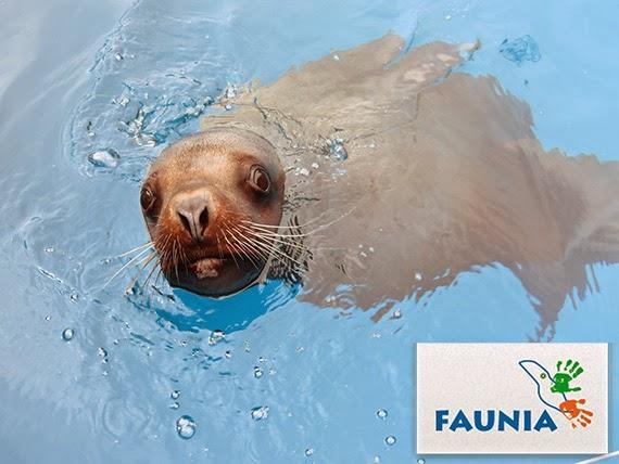 Los leones marinos del norte llegan a Faunia