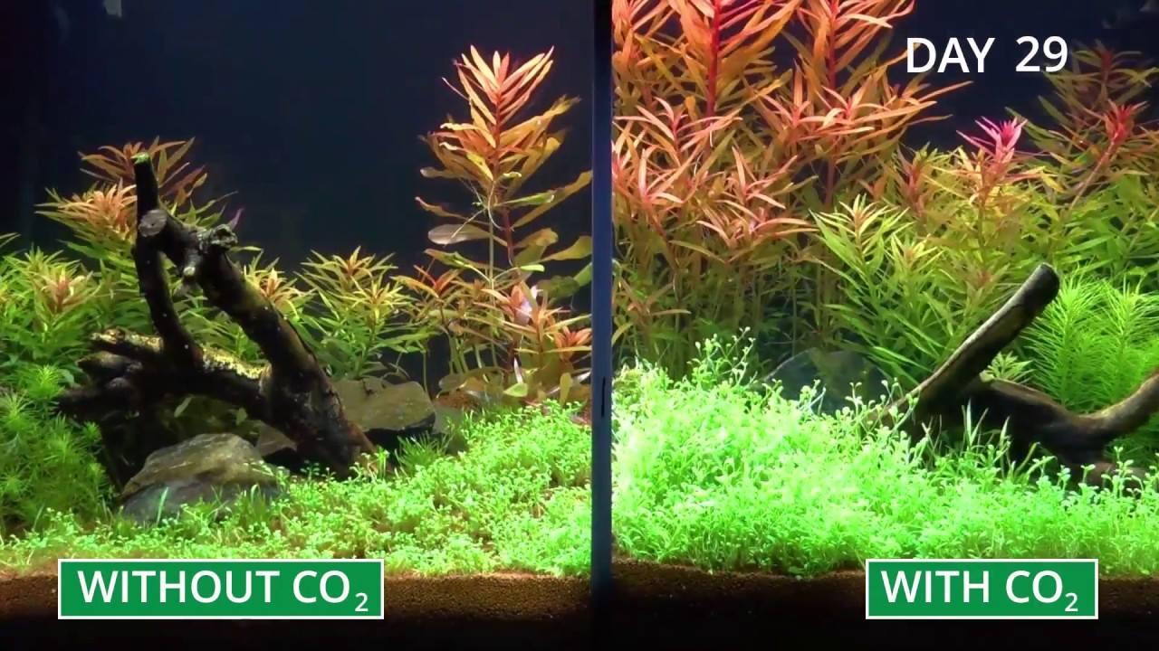 Cây thủy sinh trong hồ có CO2 luôn phát triển nhanh hơn trong hồ không có CO2