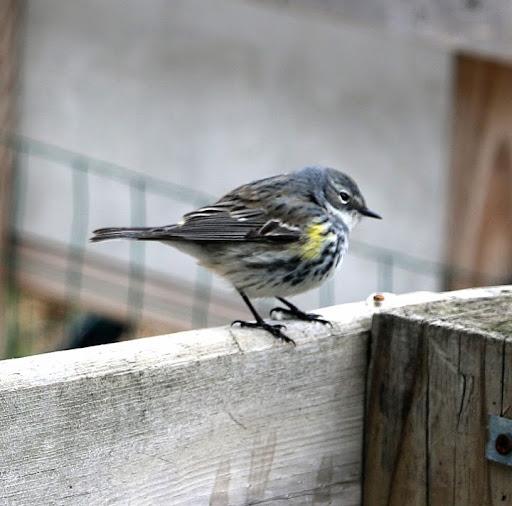 yellowrumpedwarbler-2014-05-17-09-15.jpg