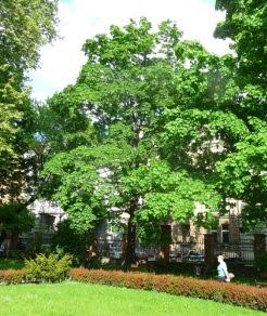Klon pospolity w parku Acer platanoides