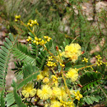 Golden Wattle in Grand Canyon (51857)