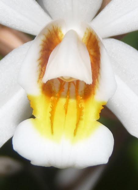 Coelogyne mooreana x cristata P1360887