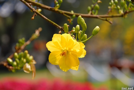 ảnh hoa và nụ hoa mai ngày tết