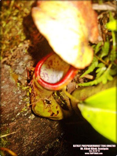 pitcher plant mt hibokhibok