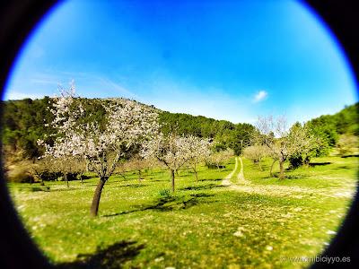 campo de almendros en flor, calviá