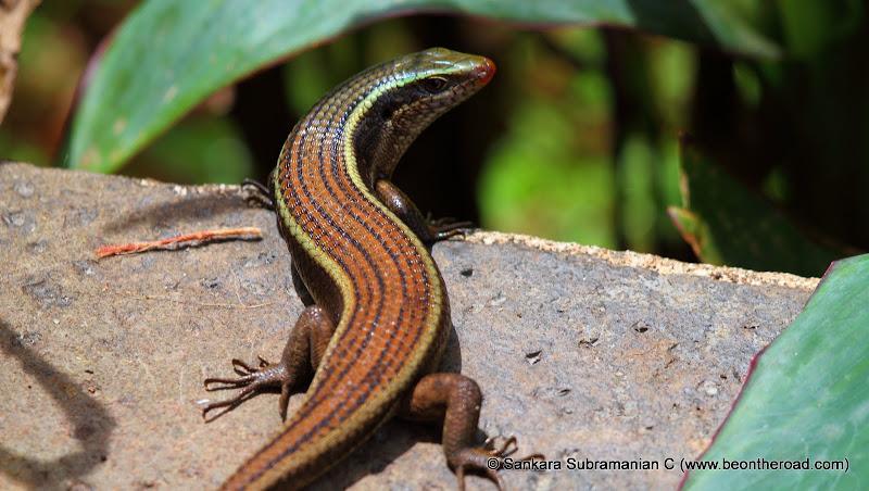 Bronze Grass Skink (Aranai Lizard) at Valparai, Tamil Nadu - 3
