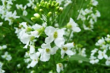 Chrzan pospolity kwiatostan Armoracia rusticana