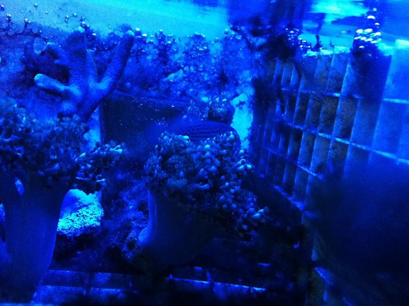 Gobiodon atrangulatus (Green Clown Goby) 2011_%2525207_14_%2525209_20